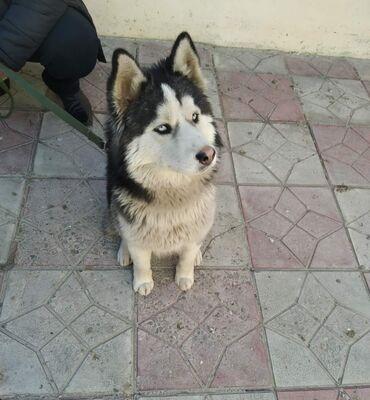 сухой корм для собак в Азербайджан: Xacqi it satılır 5 aylıqdıDişidi. PeyvəndiQurda qarşı iynələri baytar