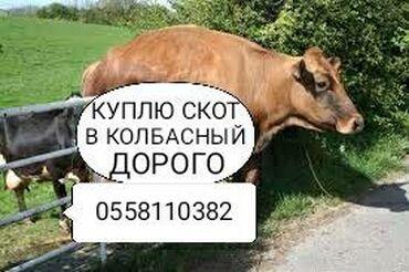 Животные - Юрьевка: Куплю скот на мясо и вынужденный забой в колбасный цехзвоните в любое