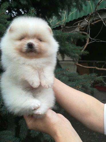 Продается щенок шпиц мальчик 2 месяца в Бишкек