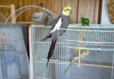 Попугаи кареллы разный возраст в Бишкек