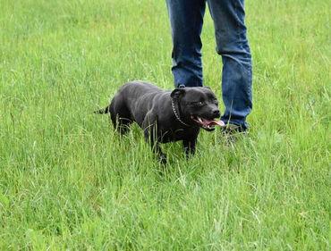 Zenska jakna - Srbija: Zenka Staffordshire bullterrier, stara 2 god. Redovno vakcinisana