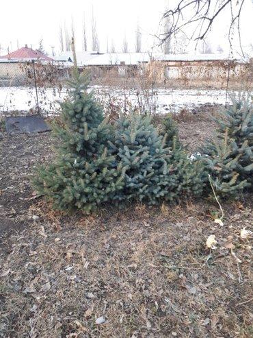 Елки голуб. и зел. до 1 м -500 сом свыше по договоренности в Беловодское