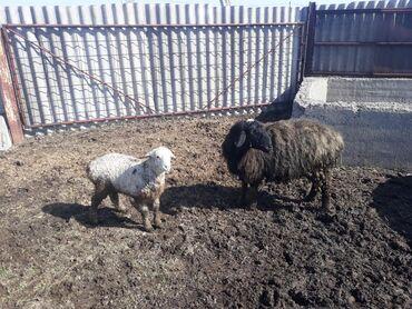 Продаю | Овца (самка) | Для разведения