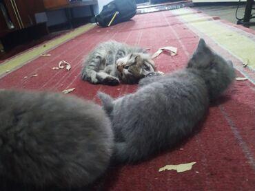 Находки, отдам даром - Кара-Балта: *Читайте акнкету ВНИМАТЕЛЬНО*Отдаём котят.Родились 5 Мая.Это их