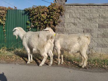 Продаются 2 козы Заненской породы 2 окот