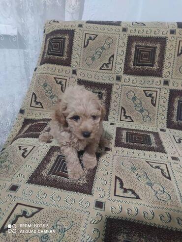 Животные - Талас: Продаю щенка,той пудель