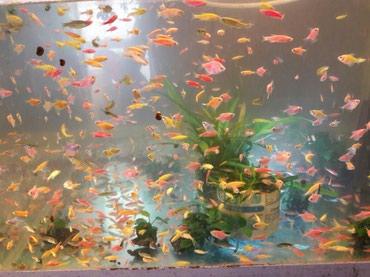 Аквариумные рыбки в Бишкек