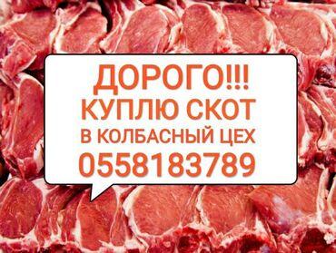 Гиссарские бараны купить в кыргызстане - Кыргызстан: Куплю | Коровы, быки, Козы, козлы, Лошади, кони | На забой, на мясо