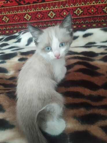 лоток для кошек бишкек in Кыргызстан | ЗООТОВАРЫ: Кот, 4 месяца. К лотку приучен. Кушает сам