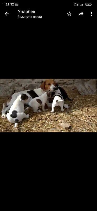 Животные - Сретенка: Щенки ганчаки родители рабочие находится в кочкорке (лайки тайган