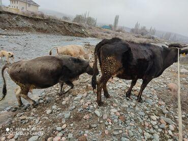 Животные - Кыргызстан: Продаю три стельные коровы