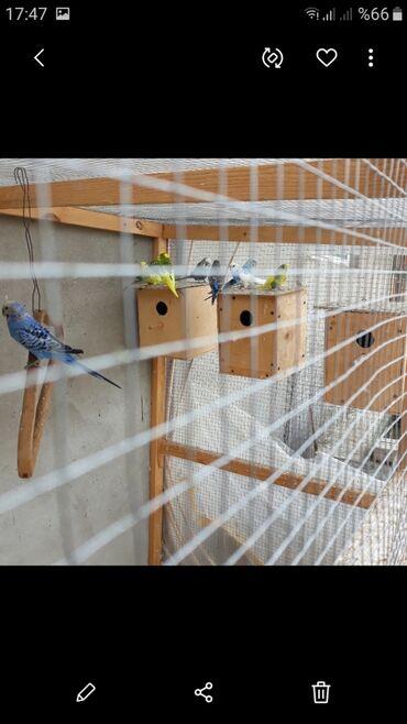 papuqay - Azərbaycan: Papuqay tecili satlir 14 denedi cutduler bala veren quwlardi