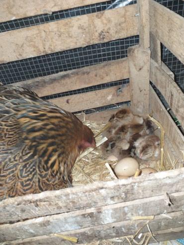 Bakı şəhərində Gold brama yumurtalari temiz qan.5.6 kl et verir.