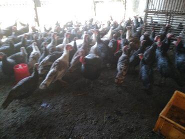 244 объявлений   ЖИВОТНЫЕ: Продаю молодых индюков, 6ти месячные в количестве 40-50 штук