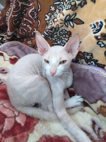 Коты - Кок-Ой: Срочно продаю кота,данской сфинкс велюр,есть паспорт,7 месяцев,тел