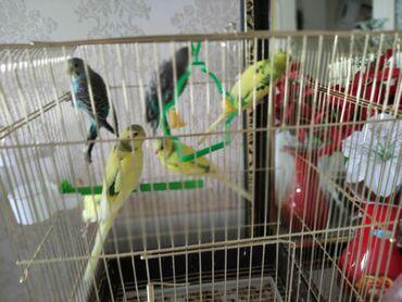 продаю самогон бишкек в Кыргызстан: Продаю Попугай любая