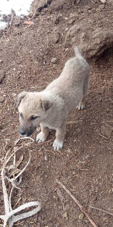приму-даром в Кыргызстан: Приму даром щенка дратхара подорите пожалуйста!!!