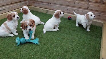 Διαθέσιμα χαριτωμένα κουτάβια Cavachon.Πολύ φιλικά και μαλακά σκυλιά