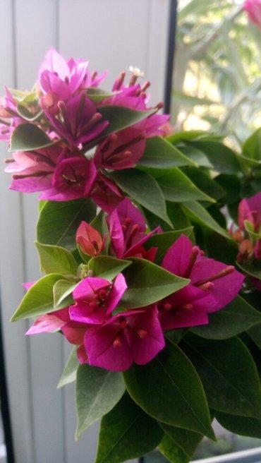 Бугенвиллия mini thai, взрослое растение более 7 лет, цветёт обильно. в Бишкек