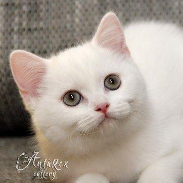 Шотландские чудо-котята из питомника в Бишкек