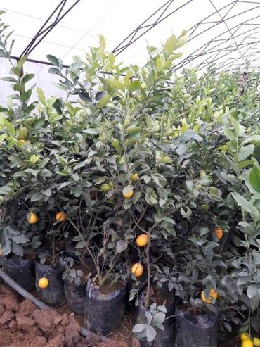 Bakı şəhərində Limon ağaci. Ev şeraitinde saxlamaq mumkundur.