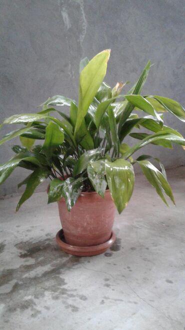 monstera bitkisi - Azərbaycan: Dekorativ gül,otaq bitkisi satılır (Dibçəklə birlikdə)