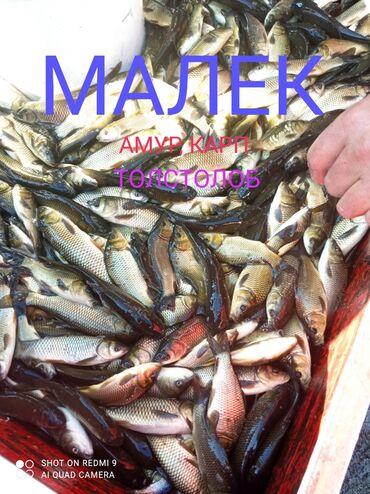 Малек, малек-сигалетки; оптом и врозницу рыба высшего качества