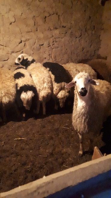 Naxçıvan şəhərində Beslemeler satılır naxçıvan Nehrəm kəndində kəsib ətin verem