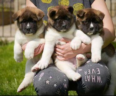 Όμορφα κουτάβια Akita έτοιμα για το νέο τους σπίτι 3 κορίτσια και 4