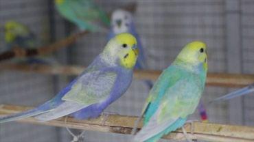волнистые попугаи размножение в Кыргызстан: ПРОДАЮТСЯ ВОЛНИСТЫЕ ПОПУГАИ ОЧЕНЬ КРАСИВЫЕ И УМНЫЕ