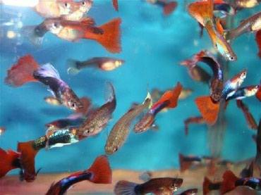 Bakı şəhərində Quppi balıqları. yerli artımdır. isteyen olsa Whatsappda videosunu