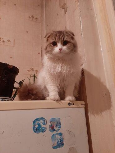 котенок в Кыргызстан: Продаётся ШОТЛАНДСКИЙ ДЛИННОШЁРСТНЫЙ КОТЁНОК 8 МЕСЯЦЕВ ХЕЙЛЕНД Ф