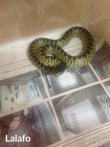 """Продаю корелевскую змею """"Великолепная"""" не ядовитая,абсолютно ручная в Бишкек"""