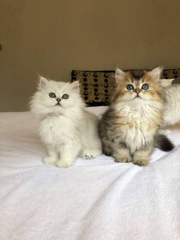 Βρετανικά γατάκια μακρυμάλλης. Είμαστε στην ευχάριστη θέση να σας