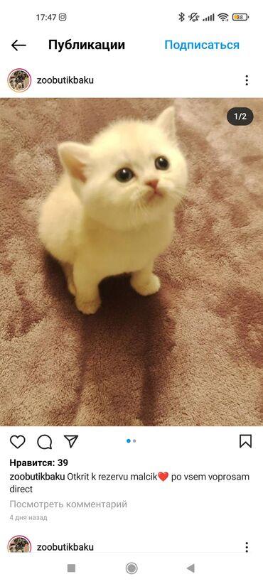 1346 elan | PIŞIKLƏR: Шотландские котята. Активные и ласковые котята к лотку приучены