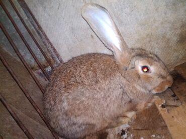 Животные - Пригородное: Крол(самец)порода смешанный