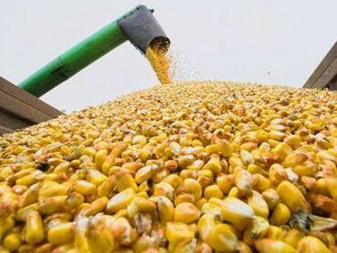 скотовоз услуги в Кыргызстан: Уборка кукурузы. Услуги Кемин