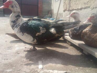 утка для больных в Кыргызстан: Продаю оптом утки мускус10шт