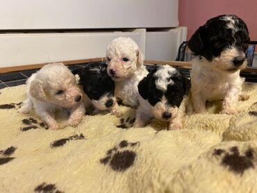 Τυπικά κουτάβια PoodleΠρότυπα κουτάβια poodleΧωρίς ρίψη και υπέροχα