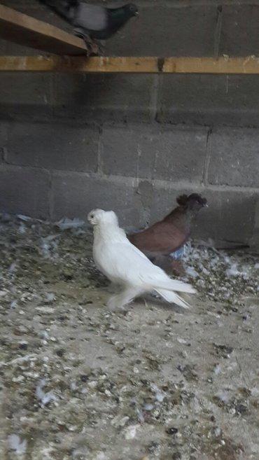 Продаю голубей. в Лебединовка