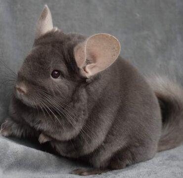 Животные - Орто-Сай: Продаю Шиншиллу самец,возраст 9 месяцев, мальчик ручной
