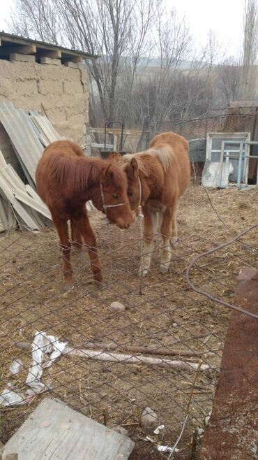 Продам с/х животных - Бишкек: Продаю | Конь (самец)