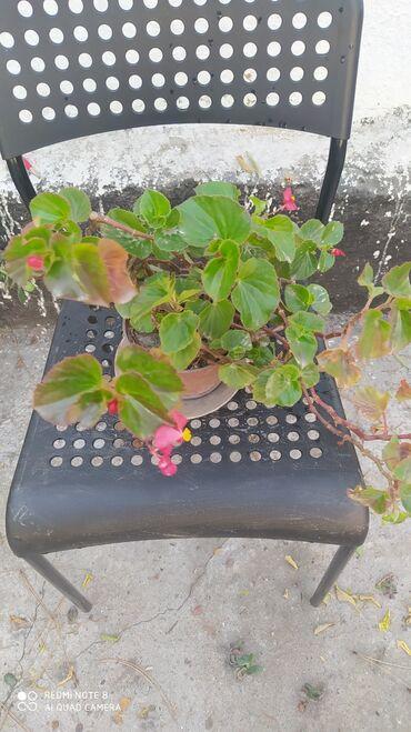"""Продам цветущую """"кислицу"""". 150 сом"""