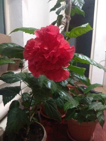 Фиалки - Кыргызстан: Продаю китайскую розу 500сом