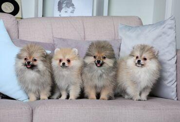 Померанский Шпиц щенки из питомника FCI 🧸 Доступны мальчики и девочки