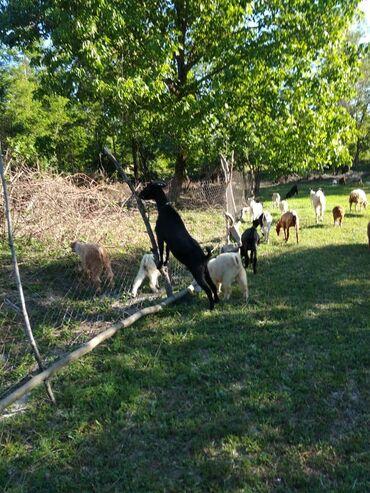 Kənd təsərrüfatı heyvanları - Qəbələ: 19 ana keçi hamısı boqaz 2 aya doqasidirlar, 15 çəpiş hamısı kök