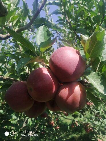 73 объявлений: Продаются вкусные спелые яблоки. Сорт - Превосход