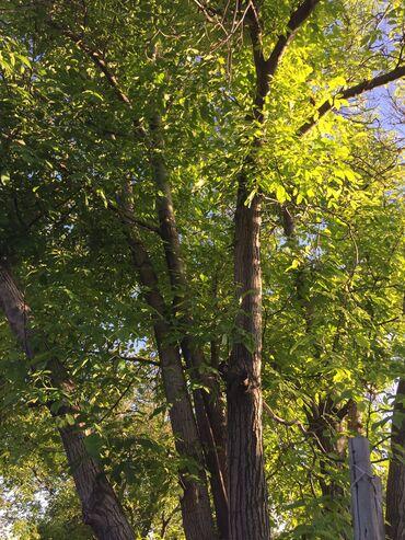 ствол грецкого ореха в Кыргызстан: Продаю дерево орех. Стволы ровные, высотой 25-30 метров