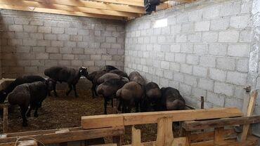 Бараны, овцы - Вид: Баран (самец) - Бишкек: Продаю   Баран (самец)   Гиссарская, Эдильбаевская   Для разведения