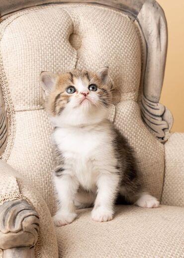 Όμορφο Σκωτσέζικο δίπλωμαΓεια, έχουμε 6 όμορφα γατάκια σκωτσέζικα, που